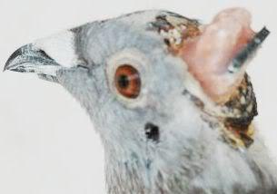 cyborg_pigeon2.6.20.04